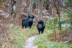 Feral hogs on Appalachian Trail