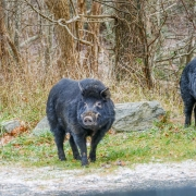 Feral Hogs near Appalachian Trail