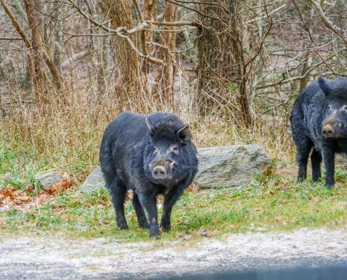 Feral Hogs near Appalachian Trail