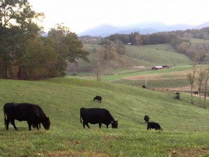 Cattle at Ridgeview Farm
