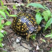 Box Turtle, photo by Jeff Hunter