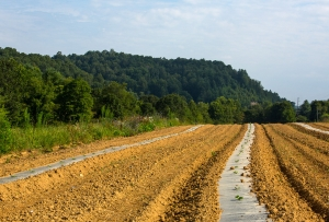 Farm fields for vegetable production
