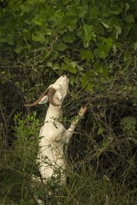Goat eating invasive plants
