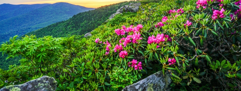 View of Roan with rhododendron and distant mountains