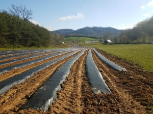 row crops at Sandy Hollar Farms