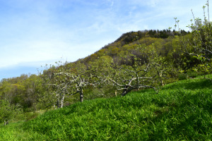 Heritage Apple Orchard at Hickory Nut Gap Forest