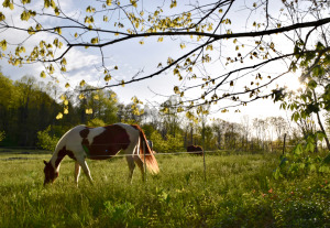 Horse in pasture at Hickory Nut Gap Forest