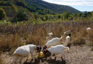 Sh-Nanny-Gans goat herd on SAHC property controlling invasive species