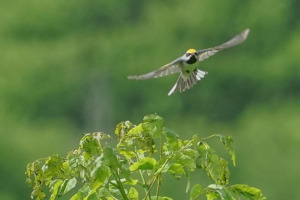 Golden-winged Warbler in flight