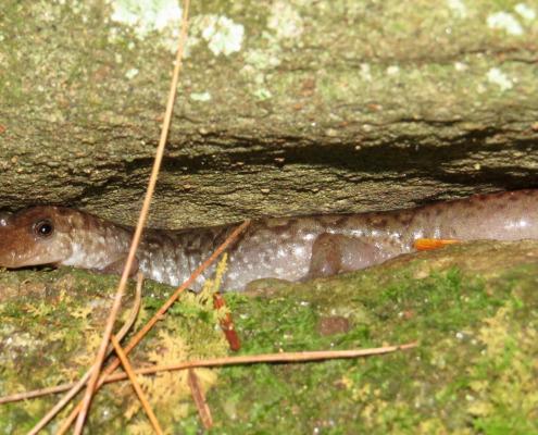Desmognathus monticola salamander photo by Tom Ward