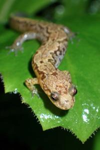 Desmognathus carolinensis salamander