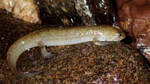 Desmognathus-quadramaculatus - salamander