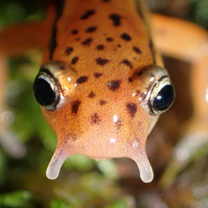 Close up of light orange salamander with dark brown spots. The salamander has two cirri extending from its mouth.