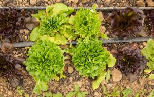 Lettuces growing at Full Sun Farm