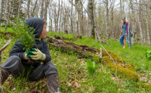 Youth volunteer planting spruce, with adult volunteer in background